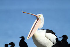 Großer Mund des Pelikans Lizenzfreie Stockfotografie