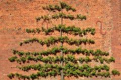 Großer Obstbaum ausgebildet auf Backsteinmauer Stockfoto