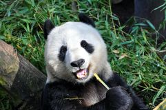 Großer Panda, der an San Diego-Zoo zu Mittag isst Stockbild