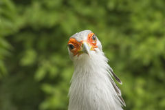 Großer Raubvogel, sagittarius serpentarius Lizenzfreies Stockbild