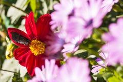 Großer Schmetterling auf einer roten Blumenblüte Stockbild