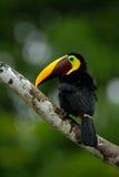 Großer Schnabelvogel Chesnut-mandibled des Tukans Tukan, das auf der Niederlassung im tropischen Regen mit grünem Dschungelhinter Stockbild