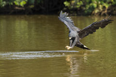 Großer schwarzer Hawk Approaching Fish im Fluss Stockfotografie