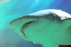 Großer weißer Haifisch Lizenzfreies Stockbild