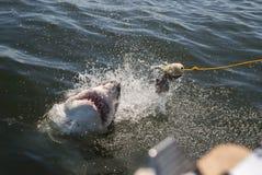Großer weißer Haifisch Lizenzfreie Stockfotos