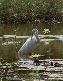 Großer weißer Reiher in dem Lilien-Teich Stockfotografie