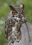 Großes gehörntes Owl Perched auf Zaun Post Lizenzfreies Stockfoto