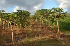 Großes Getreide in Hawaii Stockfotos