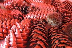 Großes Rot der Weihnachtskiefern-Kegel Stockbild