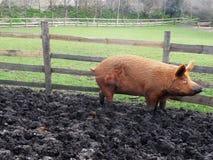 Großes schlammiges Schwein Stockfotos