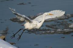 Großes weißes Reihernehmen des gefrorenen Flussufers Lizenzfreie Stockfotografie