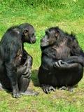 Groetenchimpansee wat nieuws is? Royalty-vrije Stock Fotografie