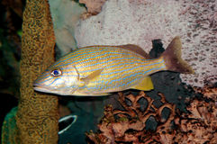 Grognor with yellow lines fish. Grognor with yellow lines close-up Royalty Free Stock Photo