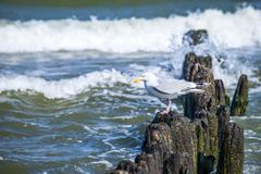 Groins in the Baltic Sea with gull Royalty Free Stock Photo