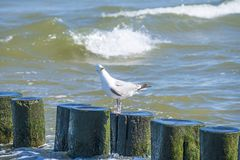 Groins in the Baltic Sea with gull Royalty Free Stock Photos