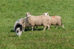 Gromadzący się psa Chodzi Up na grupie cakle & x28; Ovis aries& x29; obrazy stock