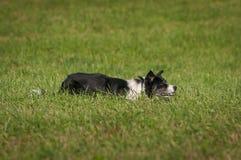 Gromadzący się psa Kłama w trawie obraz royalty free