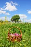 Gromadzeń się ziele Trifolium pratense czerwonej koniczyny kwiaty Czerwona koniczyna jest powszechnie używany robić degustaci zio Zdjęcia Royalty Free