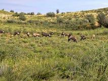Gromadzi się Gemsbok, Oryx gazella gazela, Kalahari Południowa Afryka Obraz Stock