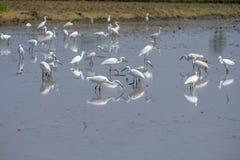 Gromadzi się pelikany zdjęcie stock