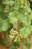 gromadzi się winogrona biały obraz stock