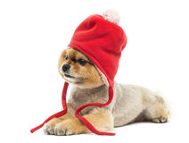 Grommed Pomeranian dog lying and wearing a red bonnet Stock Images