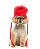 Grommed Pomeranian dog sitting and wearing a red bonnet Stock Images