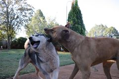 Grommende Hond met Schor stock foto