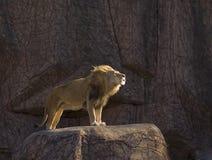 Grommende leeuw die zich op rots bevindt Stock Foto's