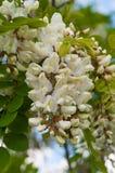 Grona fragrant biali akacja kwiaty z zielonymi liśćmi i Fotografia Royalty Free
