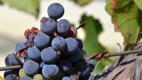 Grona grapes Stock Images