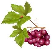 grona kropel winogrona zieleń l liść woda royalty ilustracja