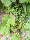 Grona niedojrzali winogrona i zieleń liście Fotografia Stock