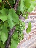Grona niedojrzali winogrona i zieleń liście Obrazy Royalty Free