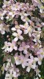 Grona różowi clematis kwiaty Fotografia Stock