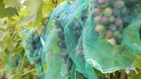 Grona soczyści błękitni winogrona w winnicy Wiązka dojrzałe organicznie jagody przygotowywać zbierającym w jesieni zdjęcie wideo