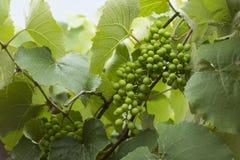 grona winogrona zieleń fotografia royalty free