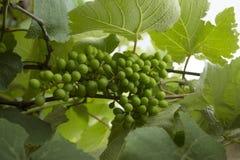 grona winogrona zieleń zdjęcie stock