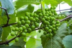 grona winogrona zieleń Nowy zielony winogrono w winnicy obrazy royalty free