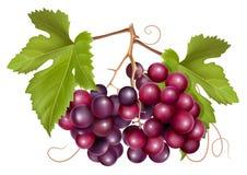 grona winogrona zieleni liść ilustracji