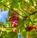 grona winogrono opuszczać czerwień zdjęcie stock