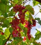 grona winogrono opuszczać czerwień obrazy stock