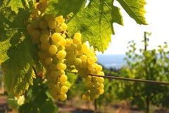 grona zieleni prześcieradło pod winogradem Zdjęcie Royalty Free