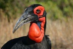 Grond Hornbill Stock Foto's
