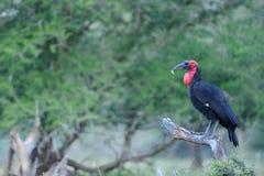 Grond Hornbill Royalty-vrije Stock Afbeeldingen