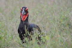 Grond hornbill (Bucorvus-leadbeateri) stock afbeeldingen