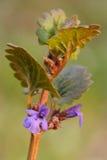 Grond-klimop (glechomahederacea) Royalty-vrije Stock Foto's