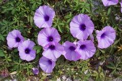 Grond violette Glorie in zonlicht Stock Fotografie