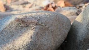 Grondagama op grijze bruine rots wordt gecamoufleerd die royalty-vrije stock afbeeldingen