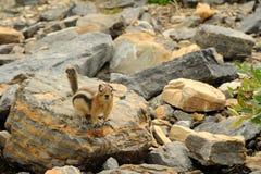 Grondeekhoorn Royalty-vrije Stock Fotografie